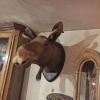 Ref. 58 – Oude elandkop foto 2